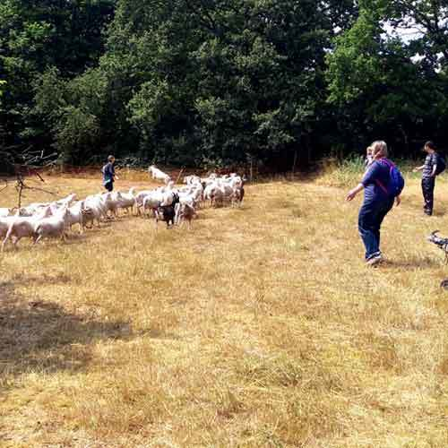 Team auf Weide beim hüten der Schafe